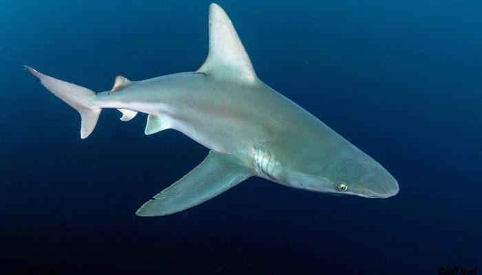 shark22