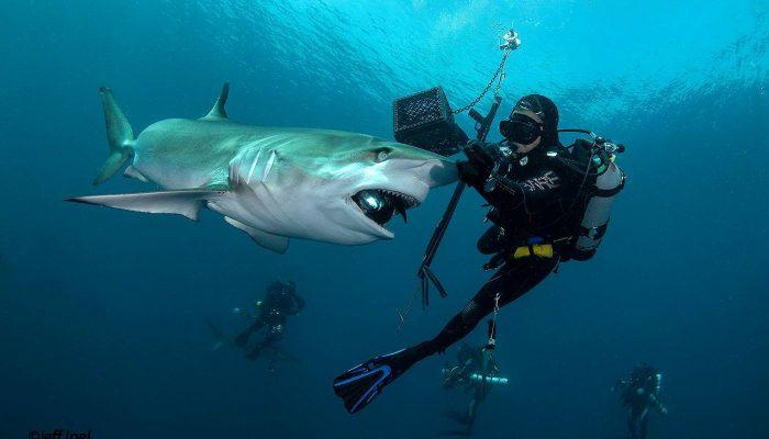 shark33
