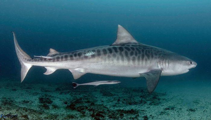 shark44