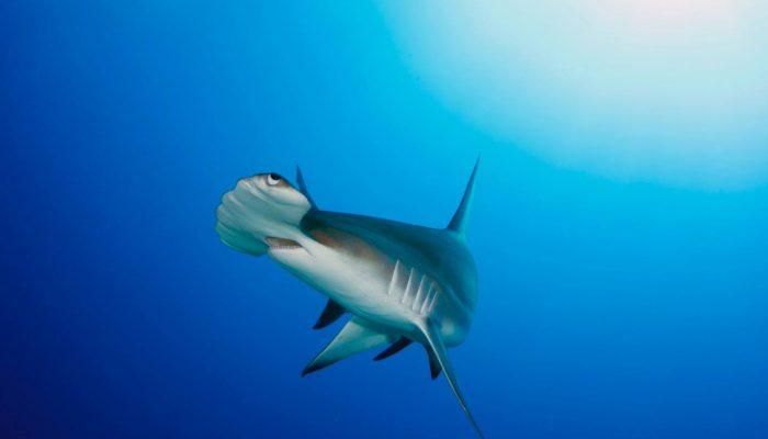 shark55