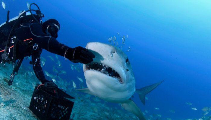 shark77
